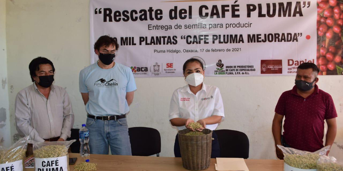Recuperan cafetaleros dePluma Hidalgo variedad typica | El Imparcial de Oaxaca
