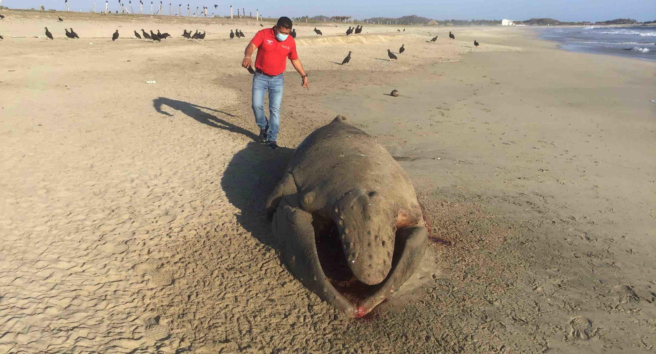 Hallan ballenato muerto en playa Corralero | El Imparcial de Oaxaca