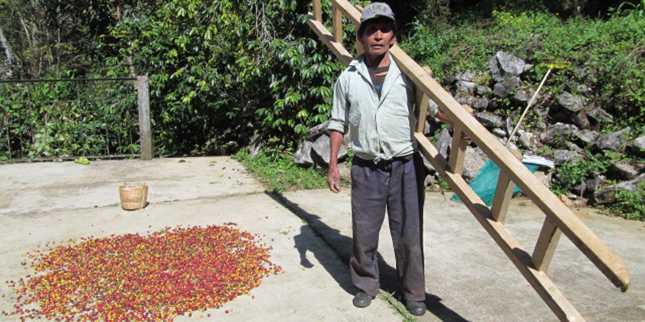 Escasean cortadores de café en Huautla para la cosecha 2021 | El Imparcial de Oaxaca