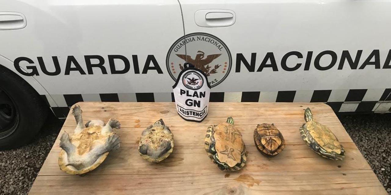 En Tuxtepec, asegura Guardia Nacional tortugas y loros | El Imparcial de Oaxaca