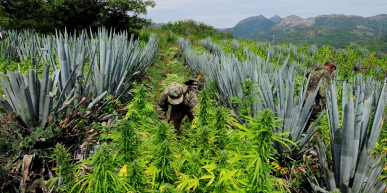 Legalización de mariguana beneficia a comunidades indígenas de Oaxaca   El Imparcial de Oaxaca