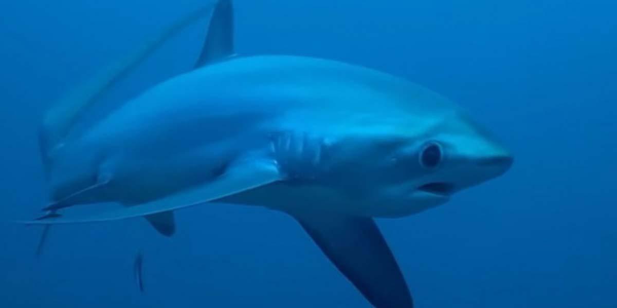 Captan en video a tiburón zorro a pocos metros de distancia   El Imparcial de Oaxaca