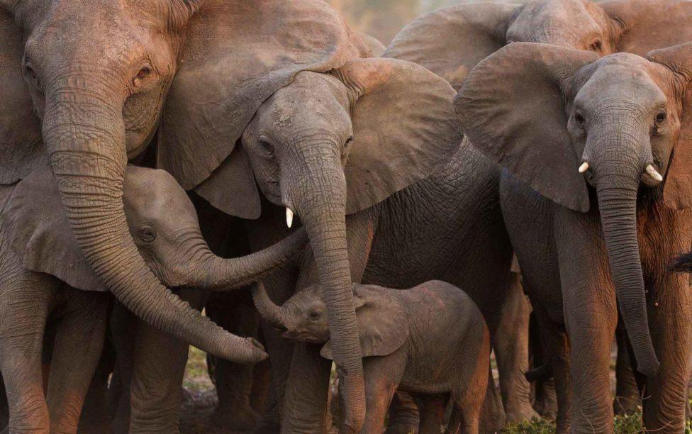 Manada de elefantes mata a cazador cuando esté trataba de huir | El Imparcial de Oaxaca