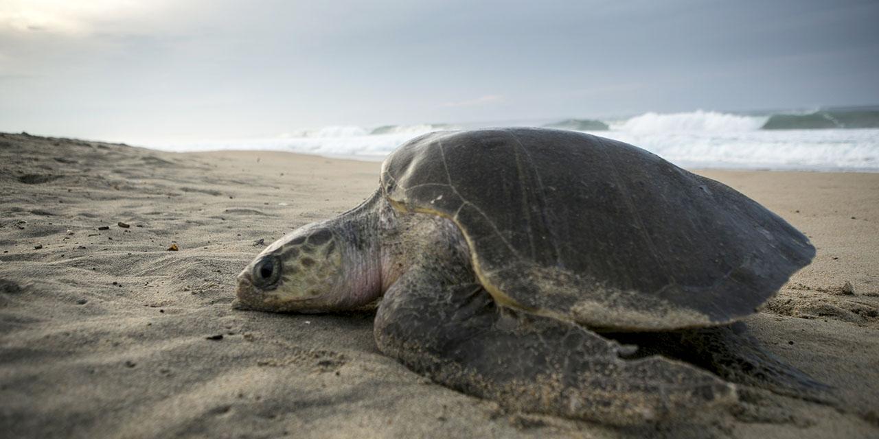 Preservan más de 2 millones de nidos de tortugas marinas | El Imparcial de Oaxaca