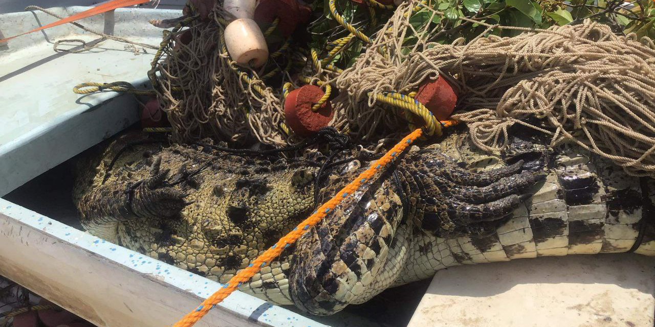 Atrapan cocodrilo dentro de una poza en la Costa   El Imparcial de Oaxaca