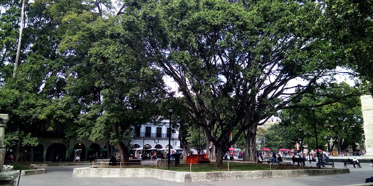 Seis árboles del zócalo y la alameda de Oaxaca se encuentran en riesgo   El Imparcial de Oaxaca