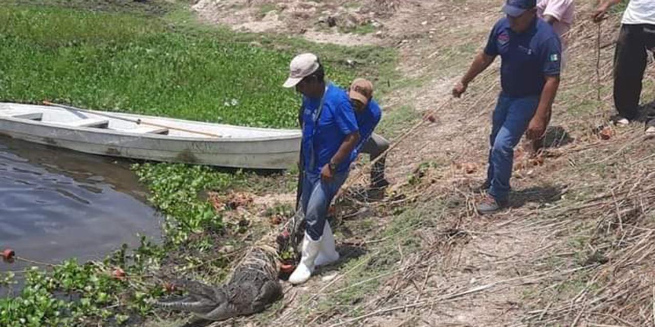 Capturan cocodrilo en Estancia Grande | El Imparcial de Oaxaca