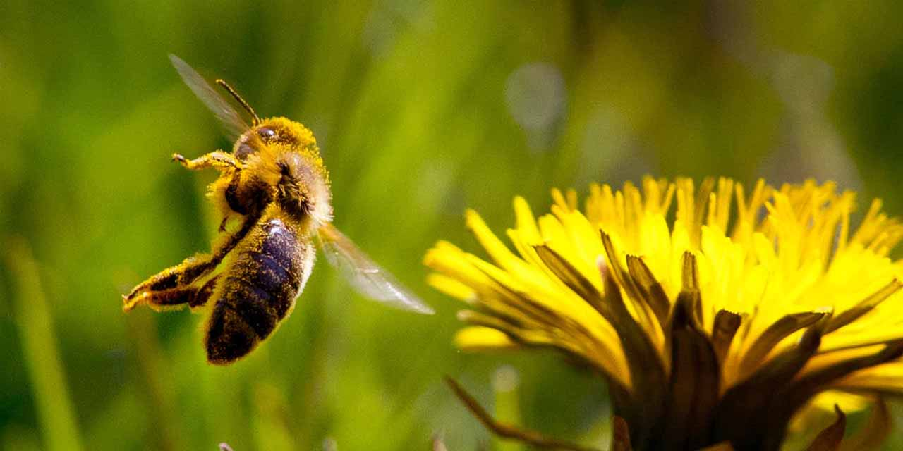 ¿Por qué hay que cuidar a las abejas?   El Imparcial de Oaxaca
