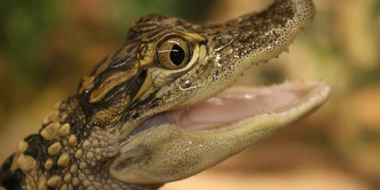 Familia compra pescado en línea y les llega cocodrilo vivo   El Imparcial de Oaxaca