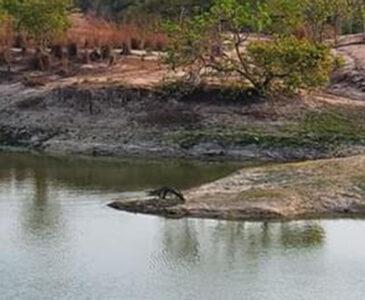 Reportan un peligroso cocodrilo en La Estancia