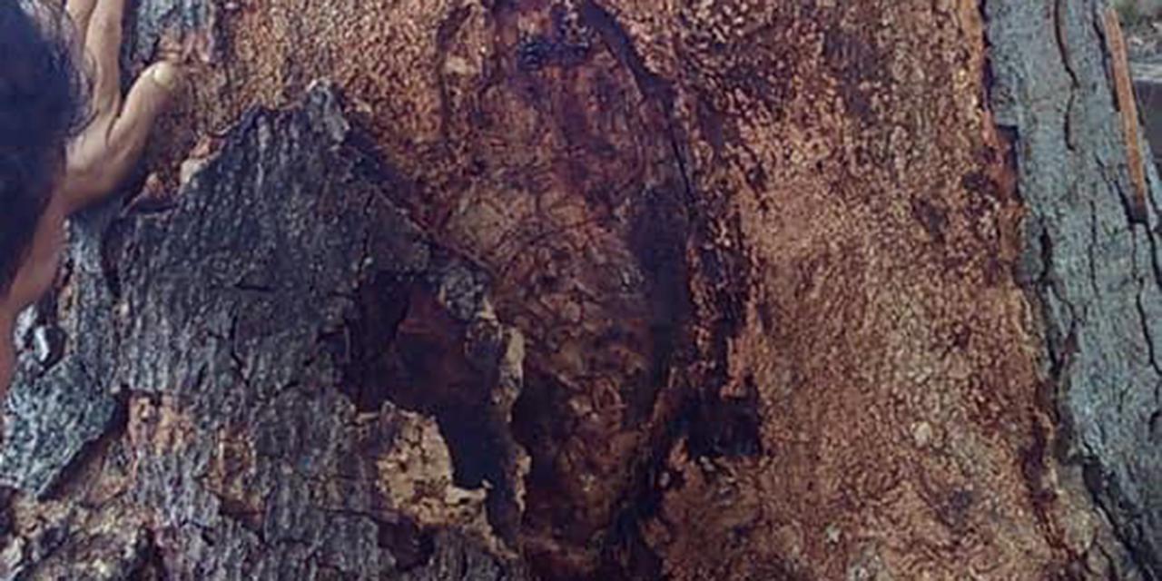 Aparece imagen de la Virgen de Guadalupe en un árbol en Pinotepa Nacional   El Imparcial de Oaxaca
