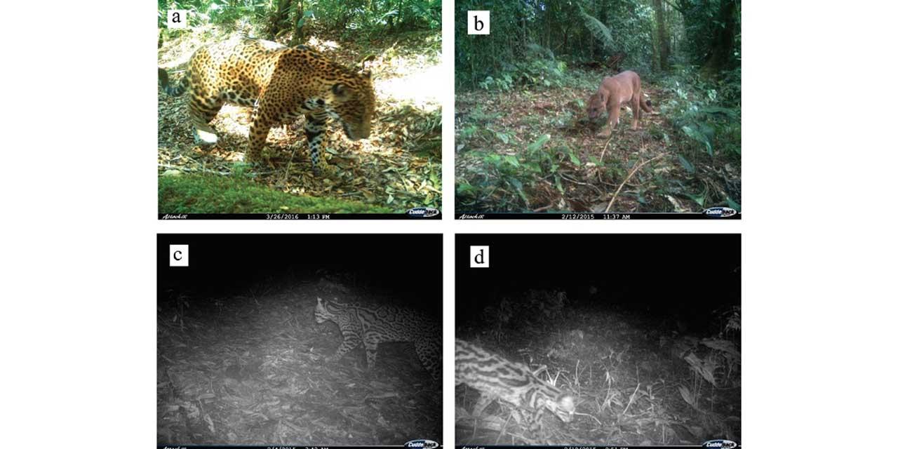 Avistan en Quialana a tigrillos y jaguarundis   El Imparcial de Oaxaca