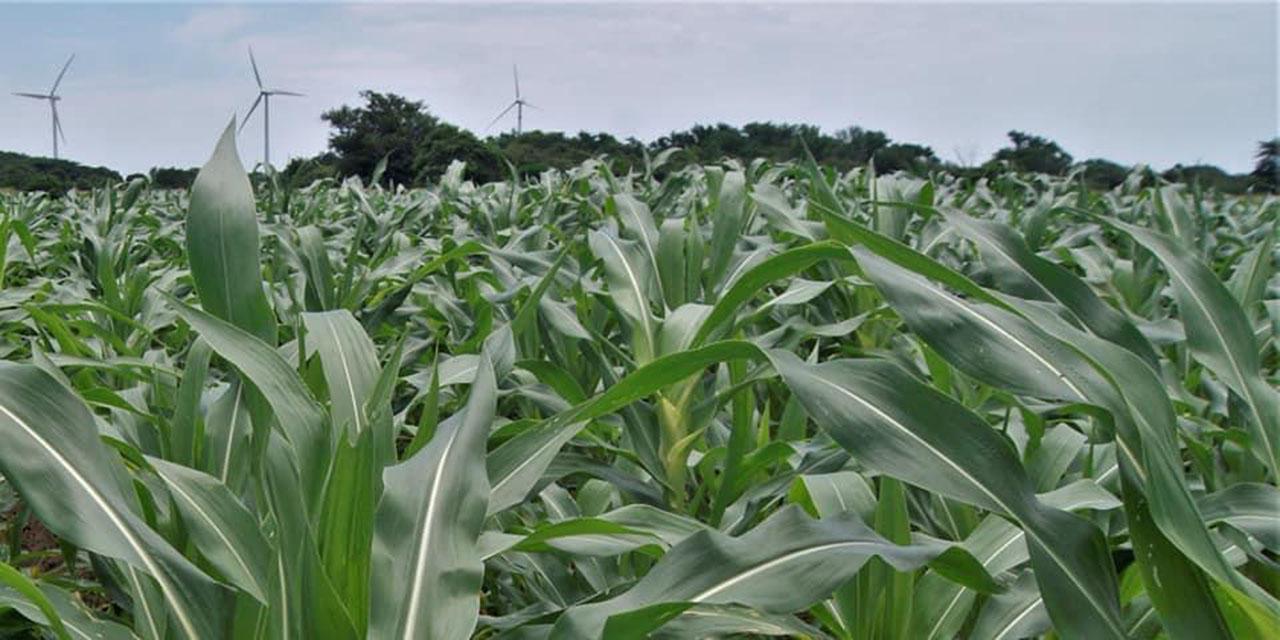 Sader, Sadapa y Segalmex olvidan productores de básicos | El Imparcial de Oaxaca