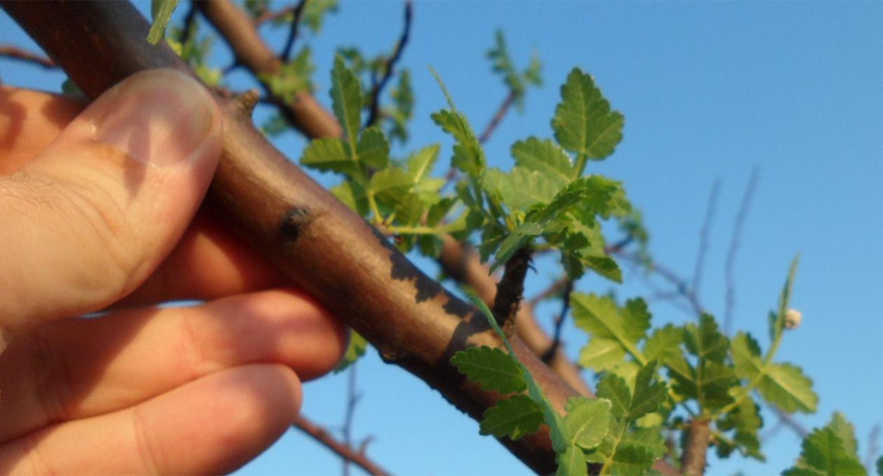 Reforestarán San Martín Tilcajete este domingo con árboles endémicos   El Imparcial de Oaxaca