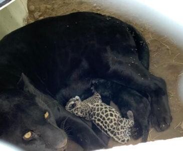 Nacen dos bebés jaguares en Tangamanga, San Luis Potosí
