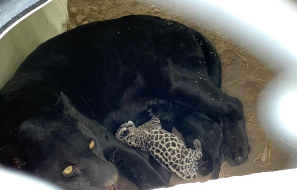 Nacen dos bebés jaguares en Tangamanga, San Luis Potosí   El Imparcial de Oaxaca
