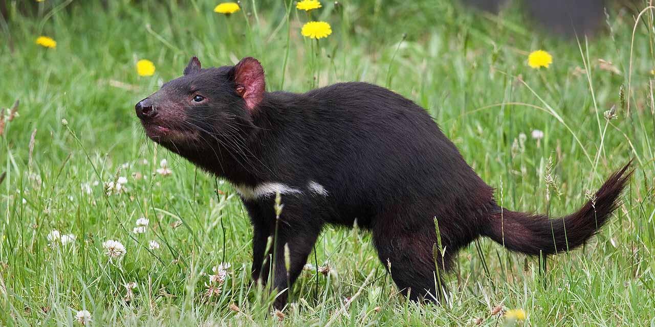 Nacen en Australia los primeros 7 demonios de Tasmania después de 3mil años | El Imparcial de Oaxaca