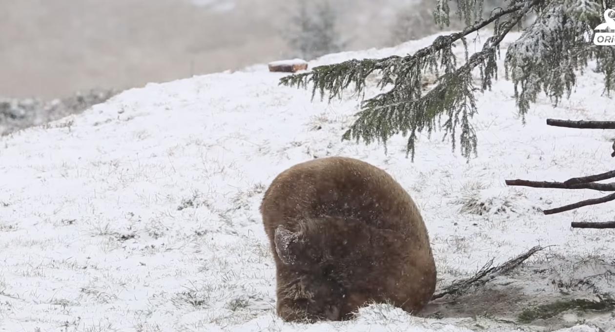 Oso enloquece al jugar en la nieve por primera vez; vivió enjaulado por muchos años   El Imparcial de Oaxaca