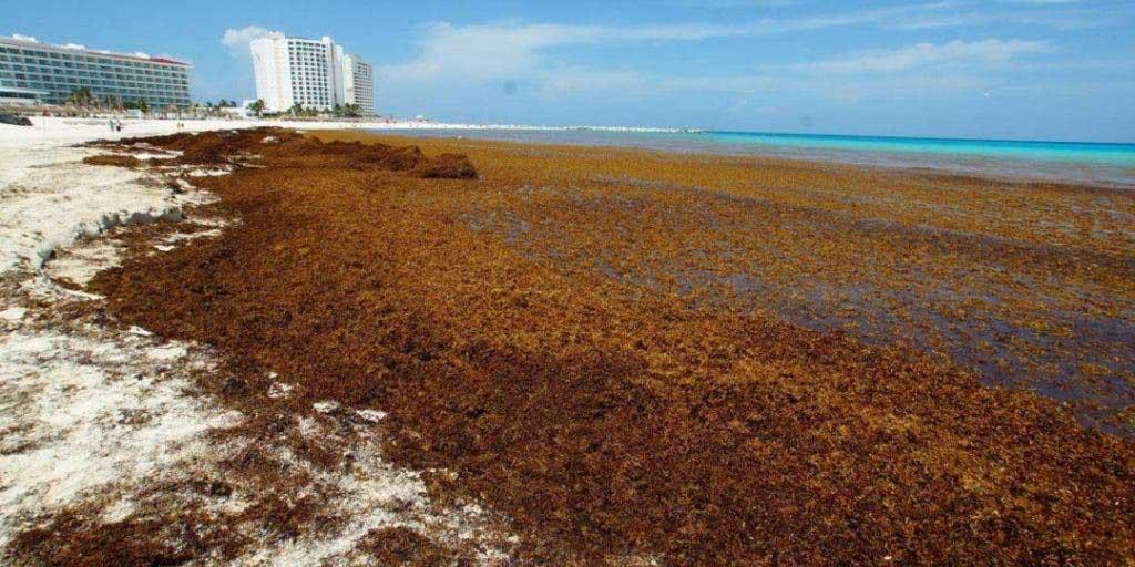 Quintana Roo espera que arribo de más de 4 mil 500 toneladas de sargazo en sus costas | El Imparcial de Oaxaca