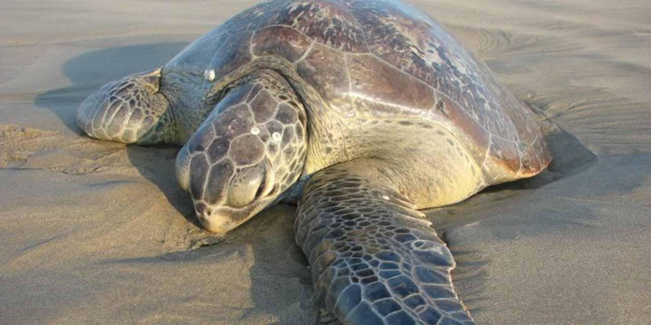 No para la muerte masiva de tortugas en BCS, en 2020 murieron mas de mil 88 | El Imparcial de Oaxaca