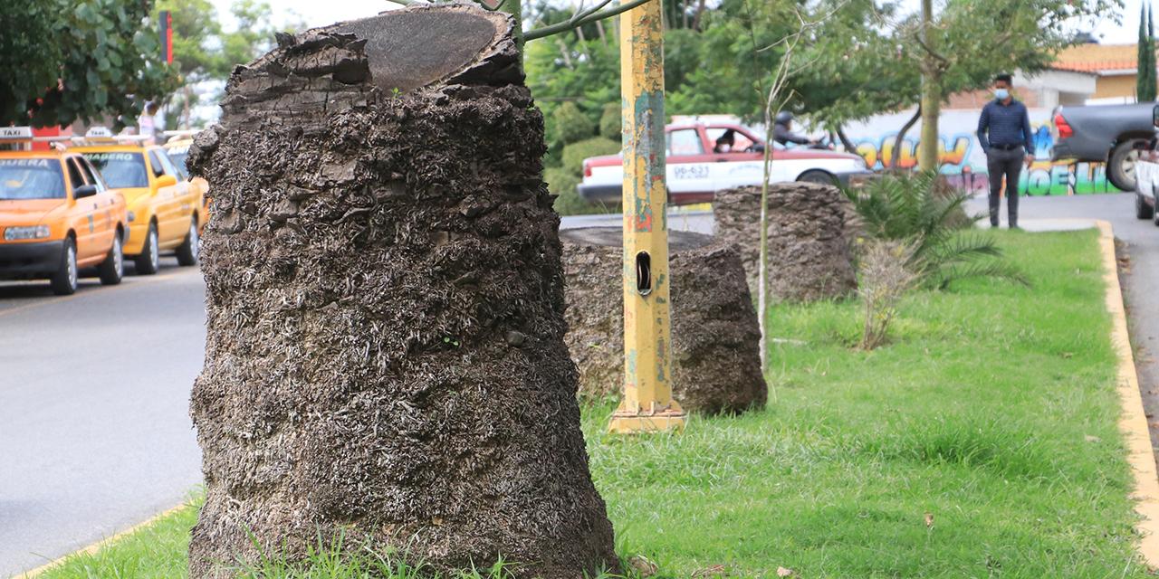Negligencia y plaga extinguen las palmeras en Manuel Ruiz   El Imparcial de Oaxaca