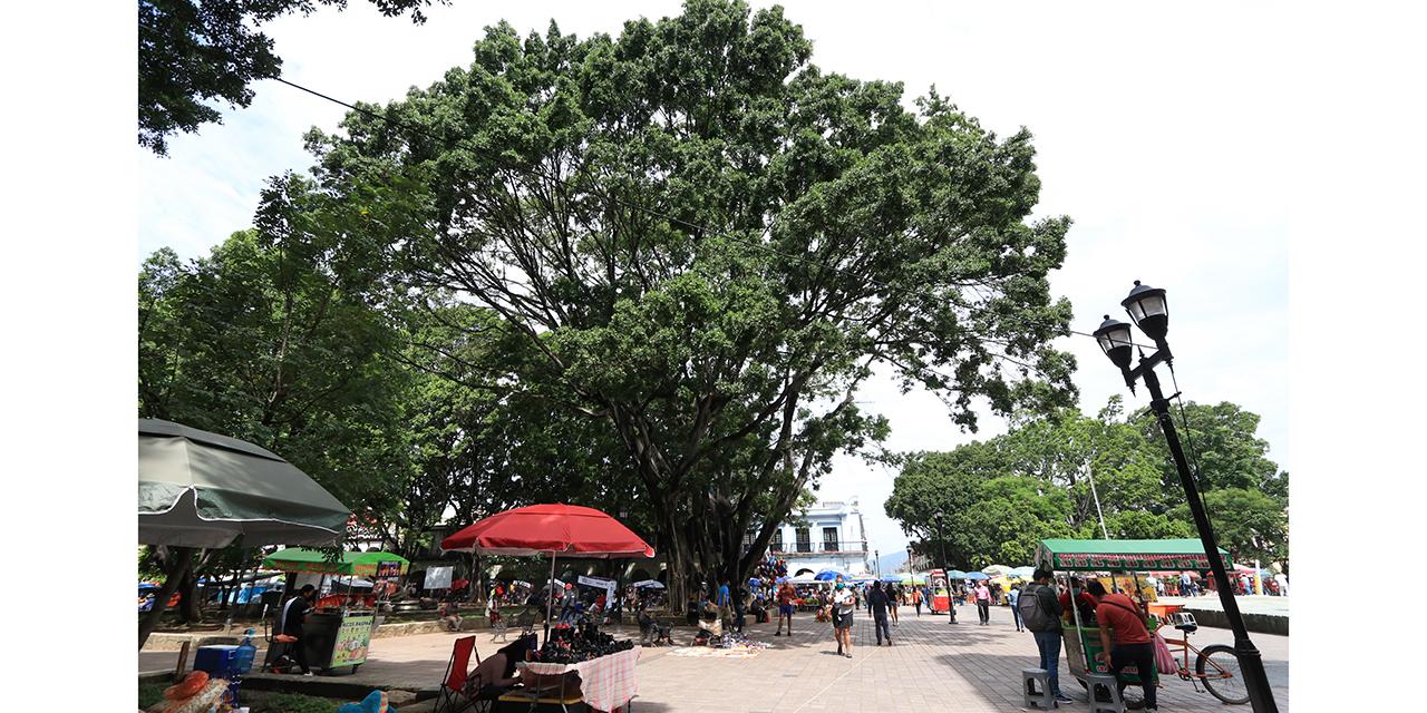 Cae un árbol al día en la capital oaxaqueña | El Imparcial de Oaxaca