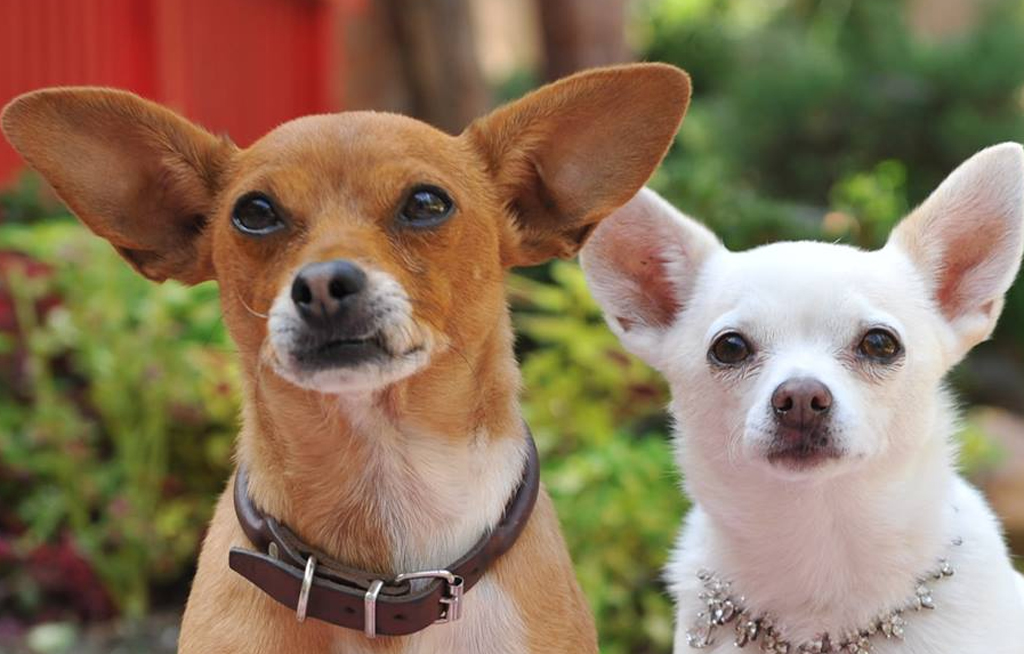 Los chihuahuas,los perros más pequeños del mundo | El Imparcial de Oaxaca