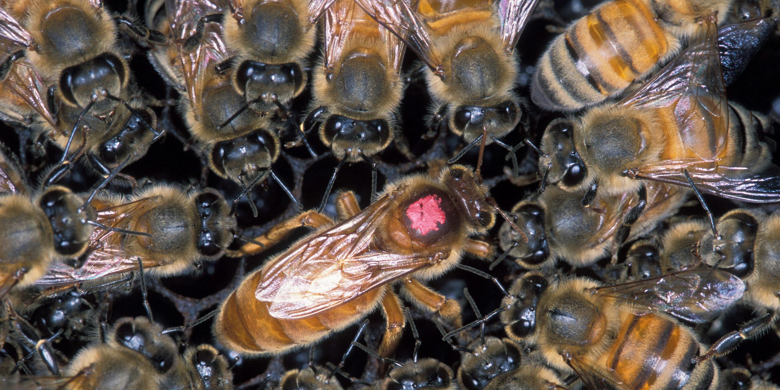 Abuelita muere tras ser atacada por abejas en Hidalgo | El Imparcial de Oaxaca