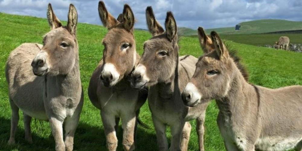 Anticuerpos de burros y alpacas, una pista terapéutica contra el covid   El Imparcial de Oaxaca