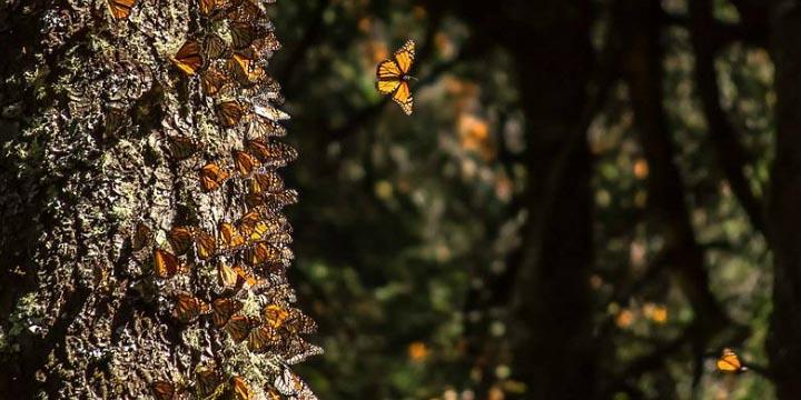 Reserva de biosfera Mariposa Monarca pierde más de 7,000 árboles | El Imparcial de Oaxaca