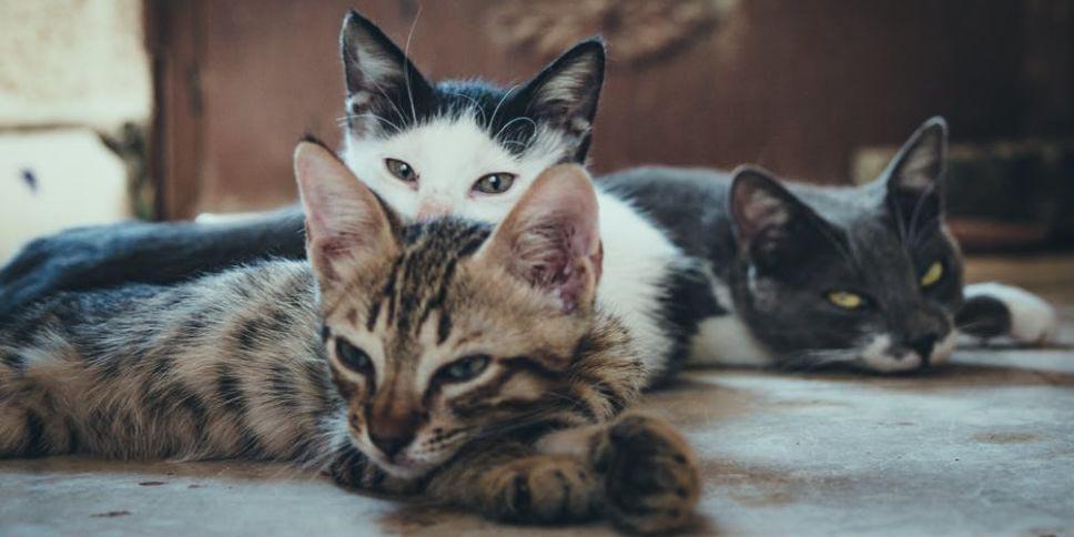 ¿Tu gato te quiere solo porque lo alimentas?, aquí te lo decimos   El Imparcial de Oaxaca