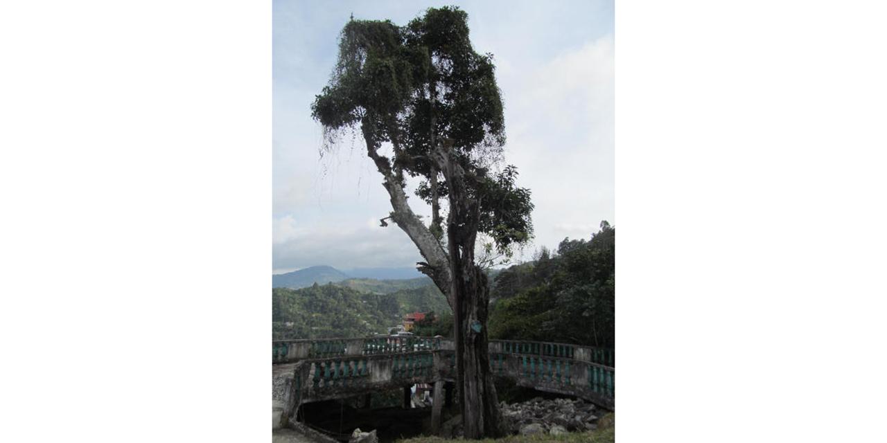 Descuidan el Árbol Yoloxóchitl en San Mateo Yoloxochitlán   El Imparcial de Oaxaca