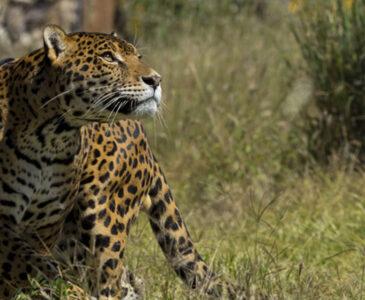 Alertan de proliferación de felinos en Sierra Sur y Costa