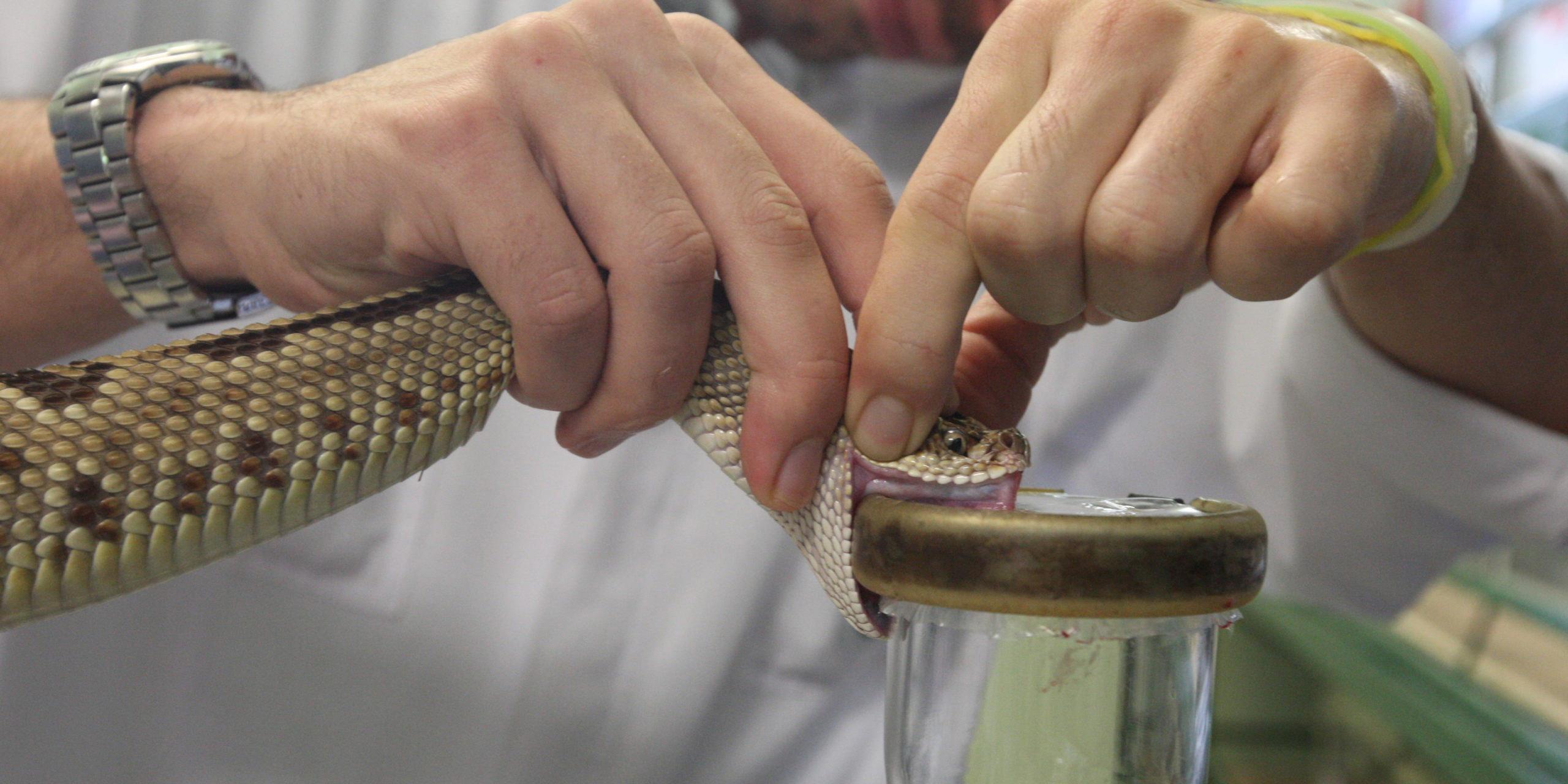Encuentran veneno de serpiente que frena la reproducción del covid | El Imparcial de Oaxaca
