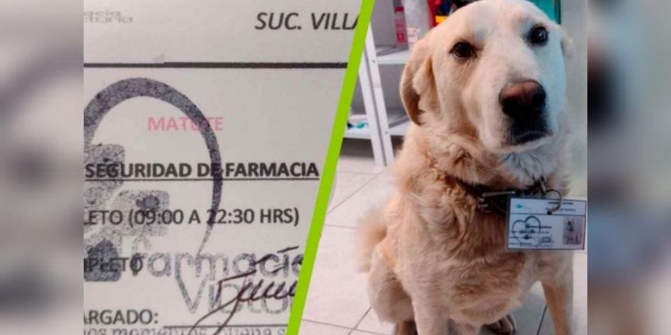 Farmacia en Pachuca 'nombra' a lomito como Jefe de Seguridad | El Imparcial de Oaxaca
