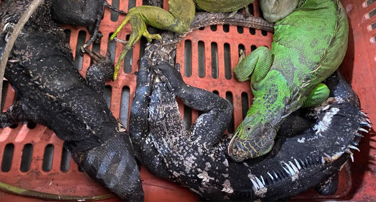Rescatan 5 iguanas en San Pedro Tapanatepec; todas murieron   El Imparcial de Oaxaca