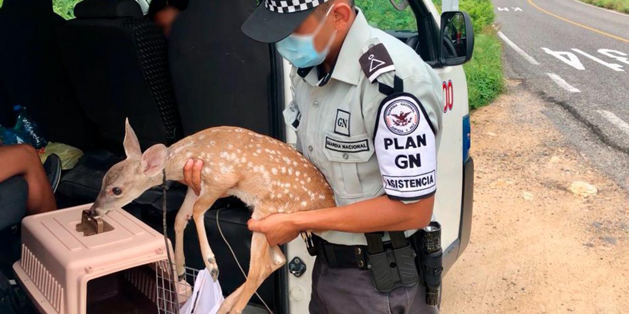 Aseguran cervatillo en peligro de Extinción | El Imparcial de Oaxaca