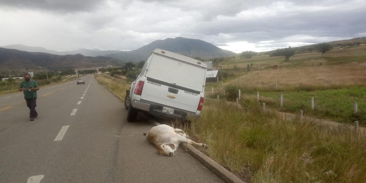 Vaca provoca colisión en Ocotlán de Morelos   El Imparcial de Oaxaca