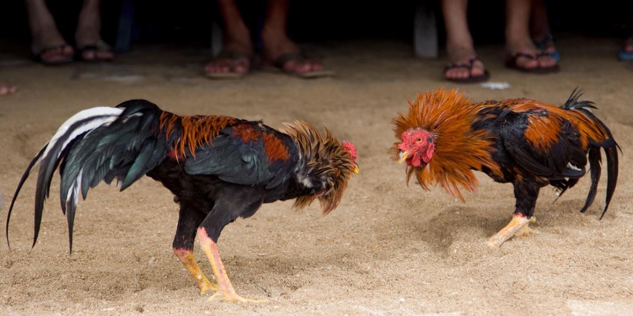 Hidalgo aprueba las peleas de gallos, las consideran como patrimonio inmaterial | El Imparcial de Oaxaca