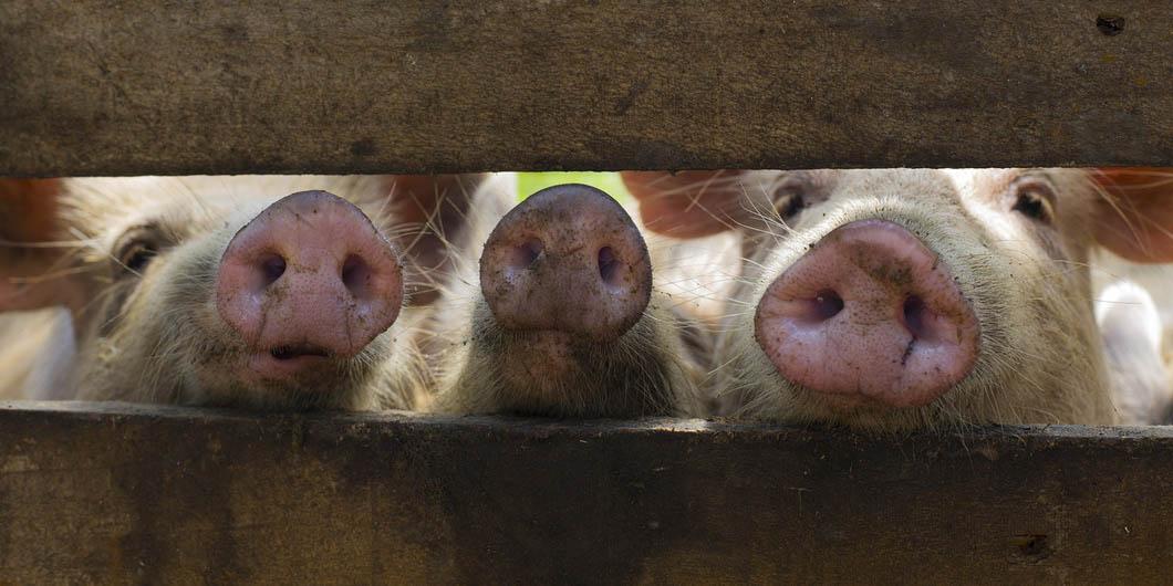 Esto es lo que debes saber acerca de la peste porcina africana y sus síntomas | El Imparcial de Oaxaca
