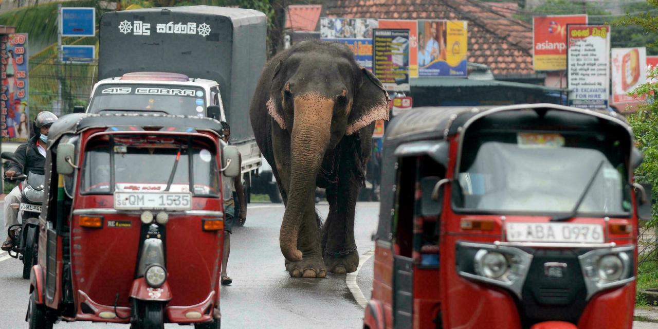Casual: En Sri Lanka prohíben conducir elefantes en estado de ebriedad   El Imparcial de Oaxaca