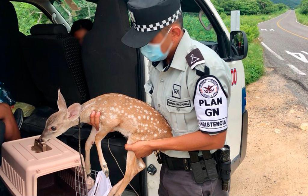 Rescatan a venado bebé que viajaba en una transportadora ilegalmente en San Pedro Huamelula   El Imparcial de Oaxaca