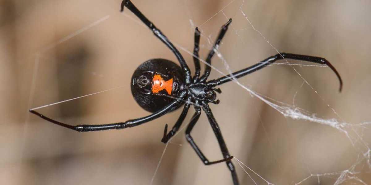 No le tengas miedo a las arañas: raramente pican, incluso si es una viuda negra | El Imparcial de Oaxaca