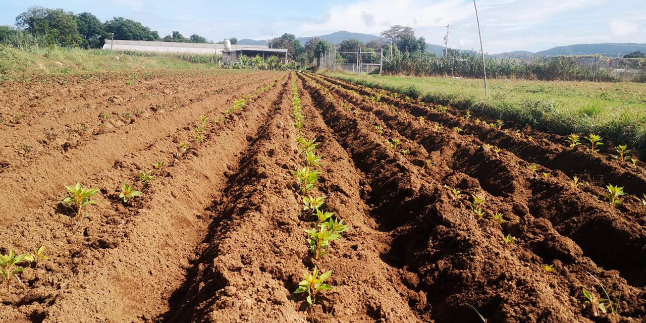 Inicia plantación de Cempasúchil en el Valle Eteco   El Imparcial de Oaxaca