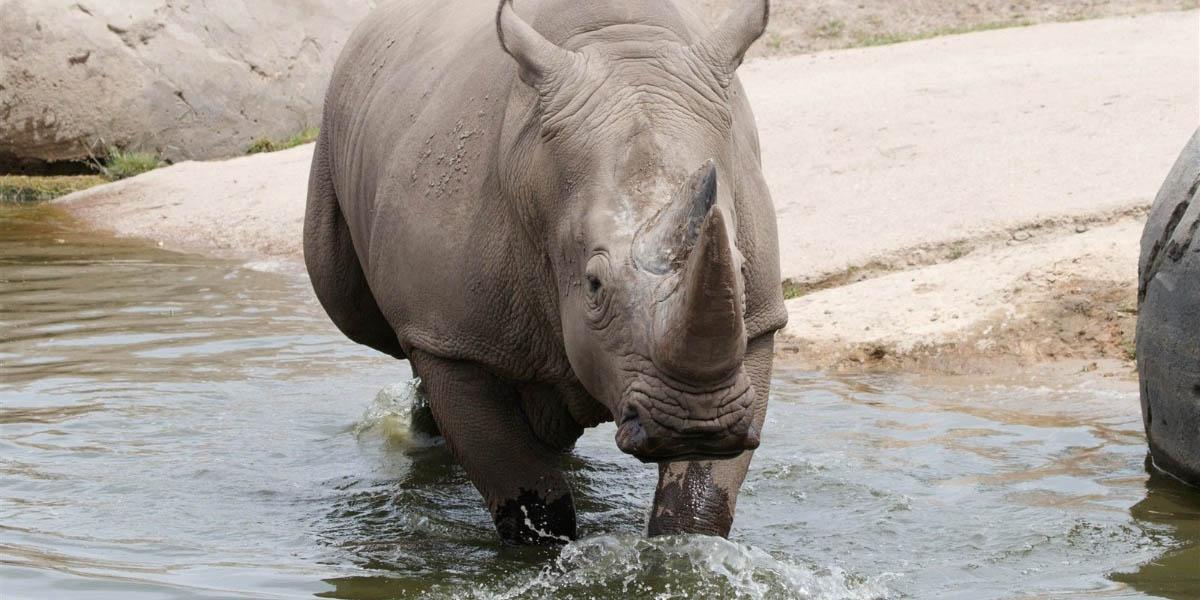 Hembra de rinoceronte muere ahogada después de huir de macho que buscaba aparearse | El Imparcial de Oaxaca