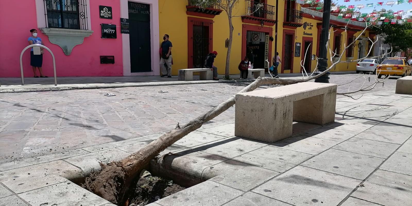 Perecen dos árboles en andador semipeatonal de la ciudad de Oaxaca | El Imparcial de Oaxaca