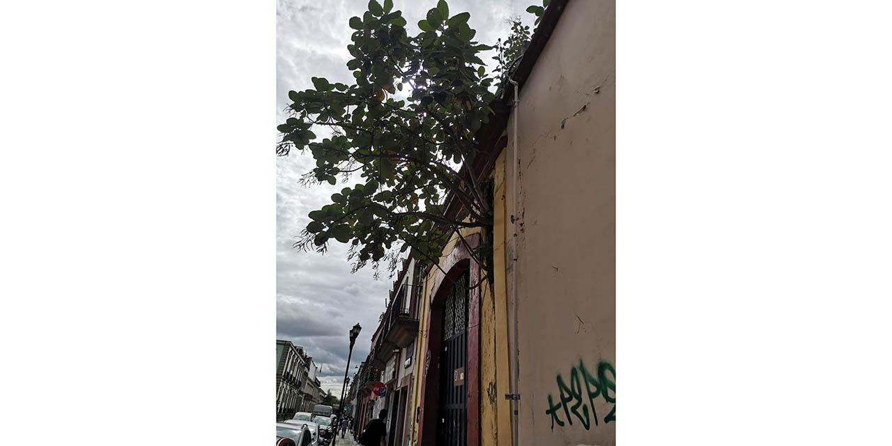 Crecen árboles y raíces en viviendas abandonadas en el Centro Histórico | El Imparcial de Oaxaca