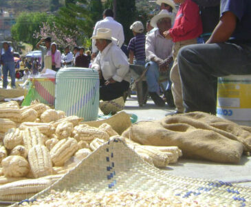 Pérdida de los maíces criollos en la Mixteca
