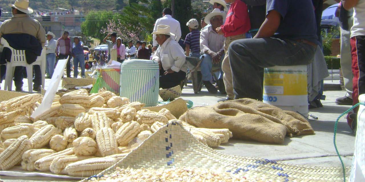 Pérdida de los maíces criollos en la Mixteca | El Imparcial de Oaxaca