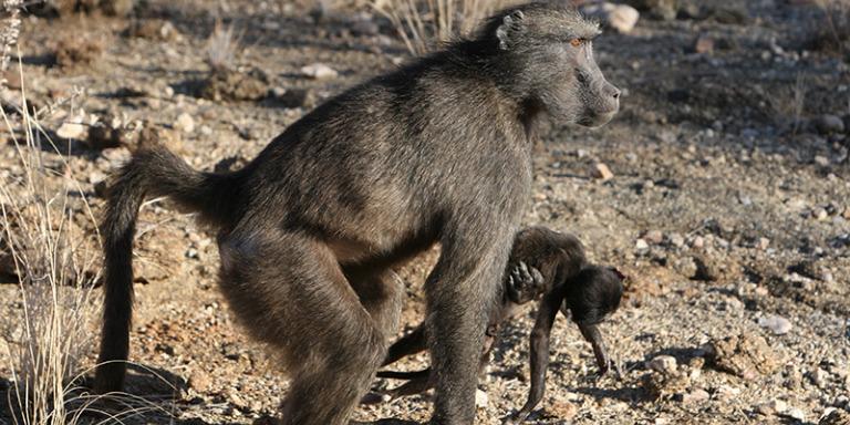 ¿Los primates pueden sentir la perdida de sus crías? aquí te lo decimos | El Imparcial de Oaxaca